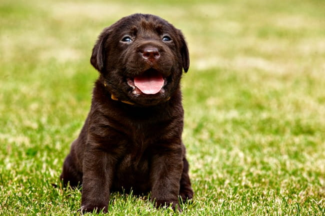 Tiny, young chocolate labrador puppy sitting on grass