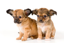 2 long-haired Chihuahua puppie