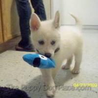 Beautiful German Shepherd Puppy Pictures