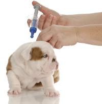 english bulldog pup getting vaccinated