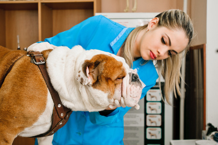 Veterinarian examining English Bulldog