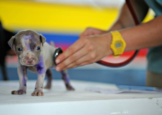 Tiny Pitbull puppy being examined by veterinarian
