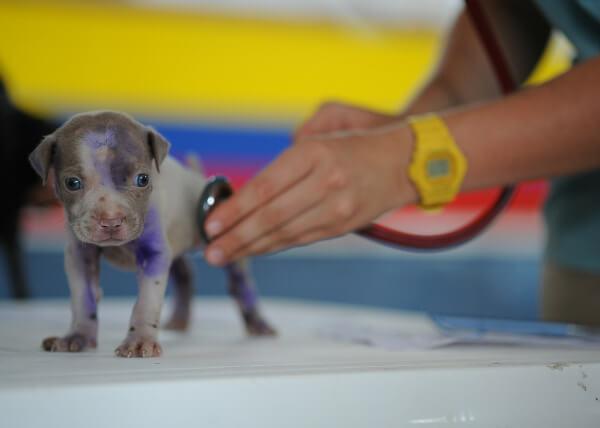 Veterinarian examining tiny puppy