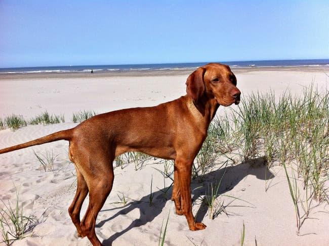 Vizsla on the beach