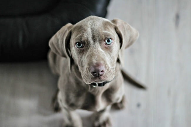 Weimaraner puppy looking right at the camera