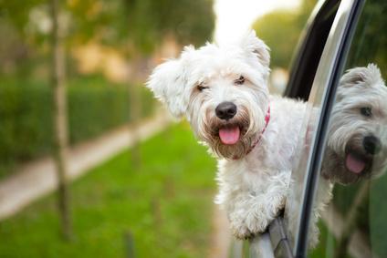 Dog taking a road trip