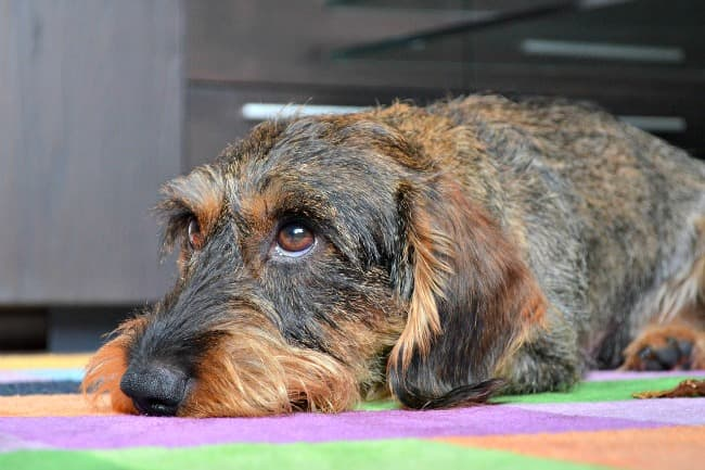 Wire-haired Dachshund with sad expression lying on rug