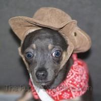 Cowboy Chihuahua Wyli