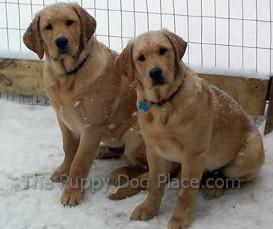 Two yellow labrador retrievers