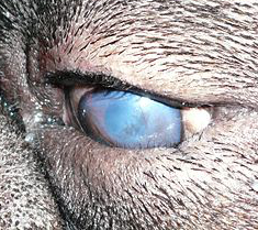 Canine Entropion - dog eye problems