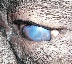 Canine Entropion - dog eye problems
