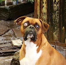 Canine Glaucoma - dog eye problems