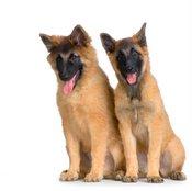 Teruvian puppies