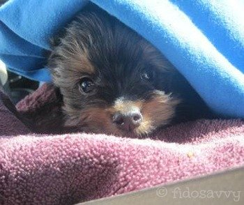 Small sick puppy under a blanket