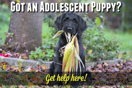 Adolescent puppy behavior explained