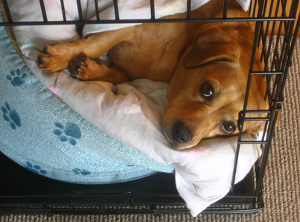 Adult dog in wire crate