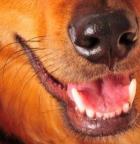 Clean & healthy adult dog teeth