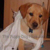 Yellow lab puppy Alfie