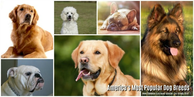 Photo collage of some of the most popular dog breeds in the USA