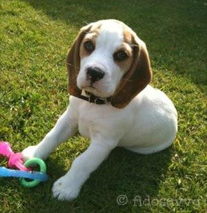Beagle puppy with teething toy