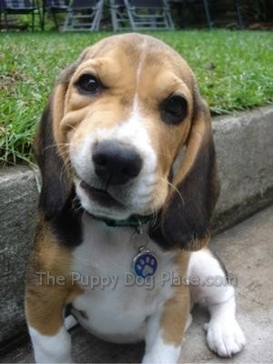 Adorable Beagle puppy Jax