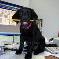 Black lab pup Angel helping ou