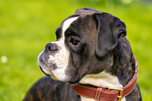 Flashy Brindle Boxer dog