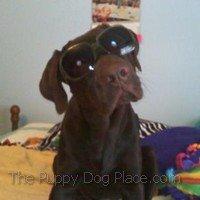 Buddy the chocolate labrador retriever