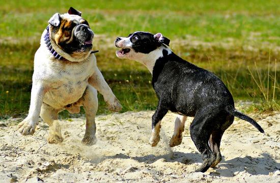 Best Dog Steps For Bulldogs