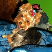 Pretty Yorkshire Terrier puppy Carly Ru
