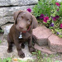 chocolate lab puppy Charle