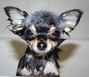 Chihuahua in bathtub with bubbles