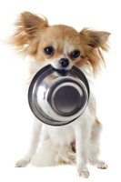 Chihuahua holding empty food bowl