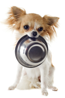 chihuahua puppy with food bowl