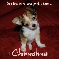 chihuahua puppy photos