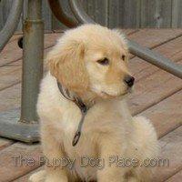 Golden puppy Chloe