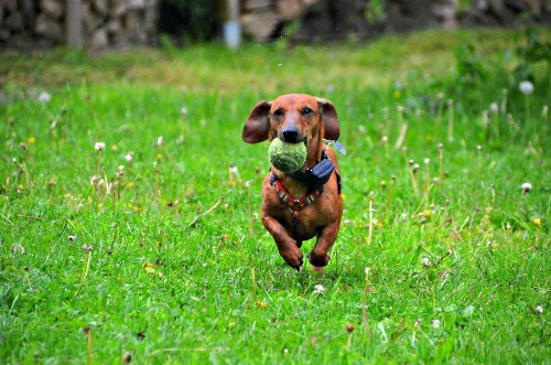 Dachshund with tennis ball