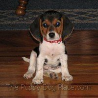 CuteBeagle pup Dixie