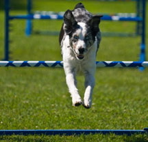 Dog enjoying agility hurdles