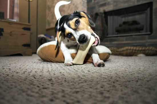 Young dog chewing on natural bone