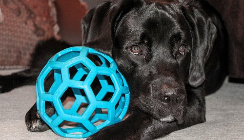 Labrador Retriever puppy with Hollee Roller ball