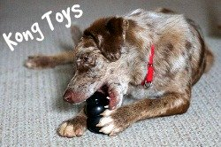 Dog with Kong toy
