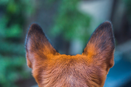 Dog food allergies can cause itchy ears