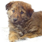 fluffy mixed breed puppy