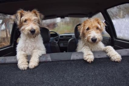 Two Fox Terrier friends in a car