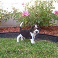 Beagle puppy Gizm