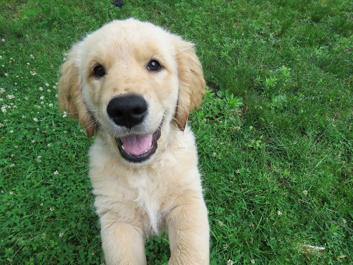 8 week old Golden Retriever puppy