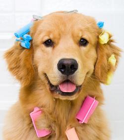 Golden Retriever wearing hair curlers