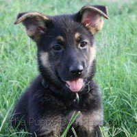 Gucci a GSD puppy