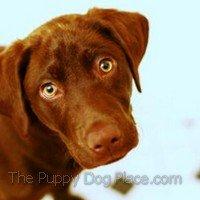 lab puppy Gunner
